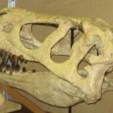 Череп тарбозавра