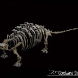Реконструированный скелет Talarurus