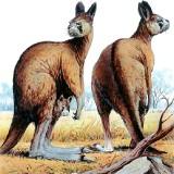 Плосколицые кенгуру
