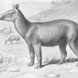 Paleotherium