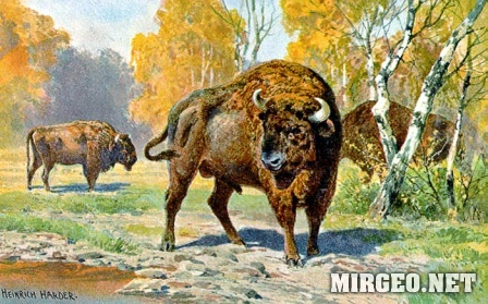 European Bison. Европейский бизон